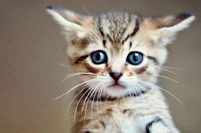 mancare pui pisica